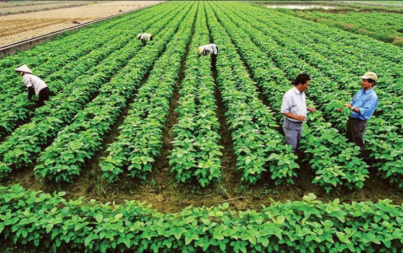 Phân bón xanh còn giúp cải tạo đất mặn hiệu quả