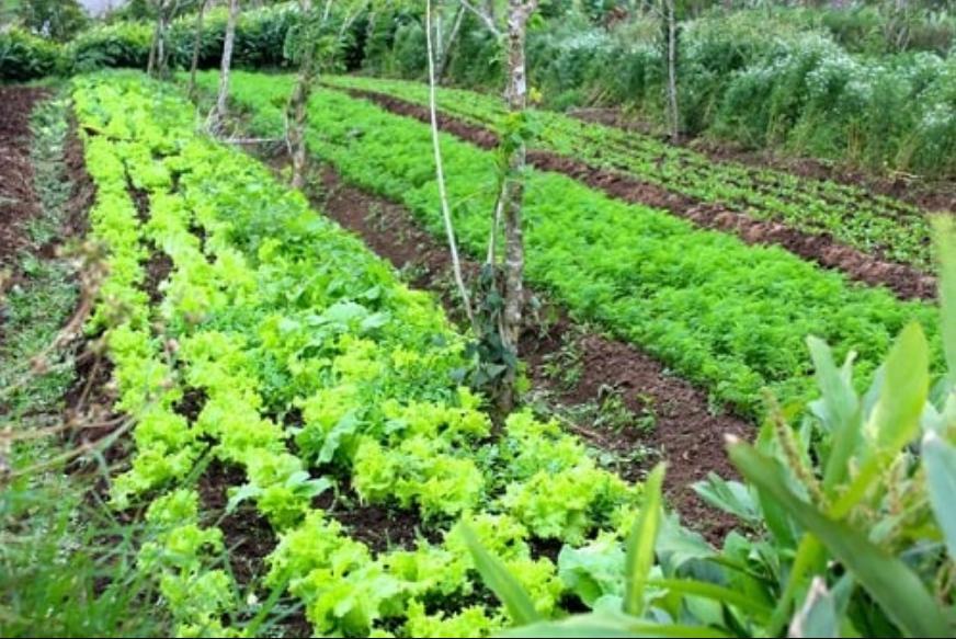Trồng luân canh giữa cây phân xanh với cây trồng chính